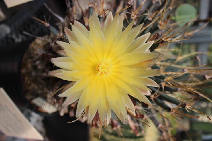 fiorecactus