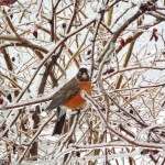 robin-on-icy-roses_25967719711_o