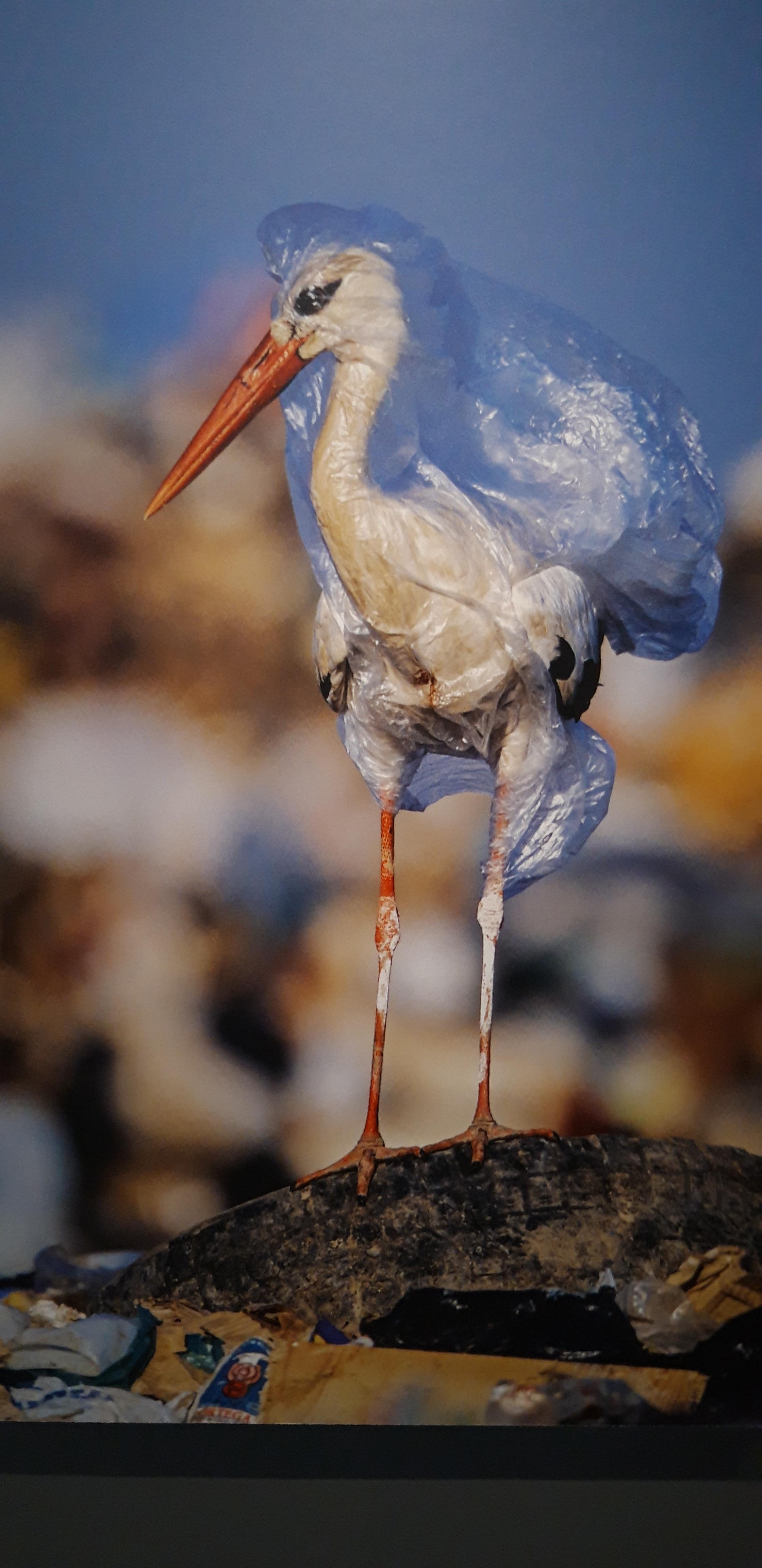 pellicano plastica
