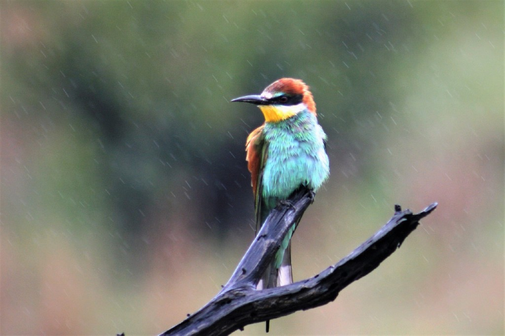 bee-eater-4998091_1920